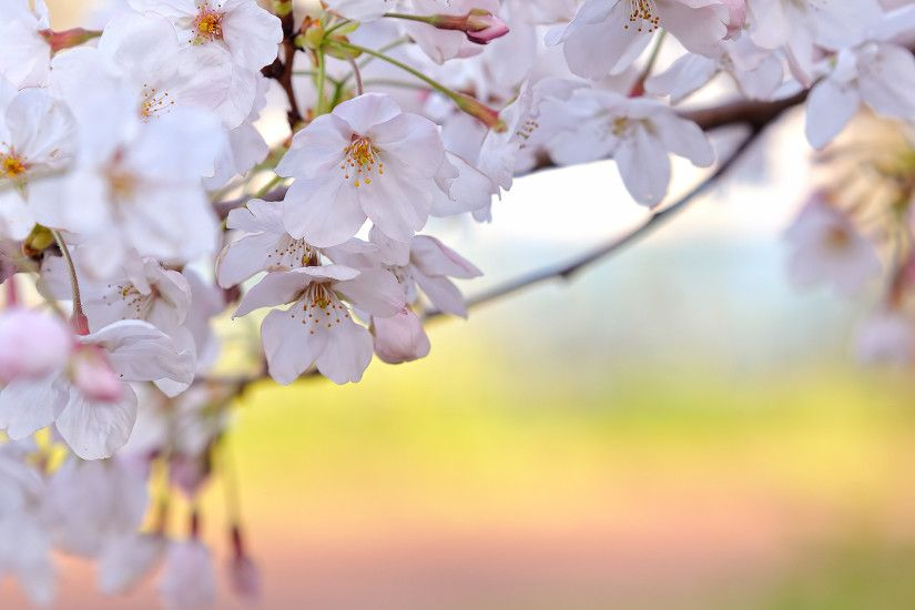 50 Lovely Cherry Blossom Wallpapers to brighten your Desktop