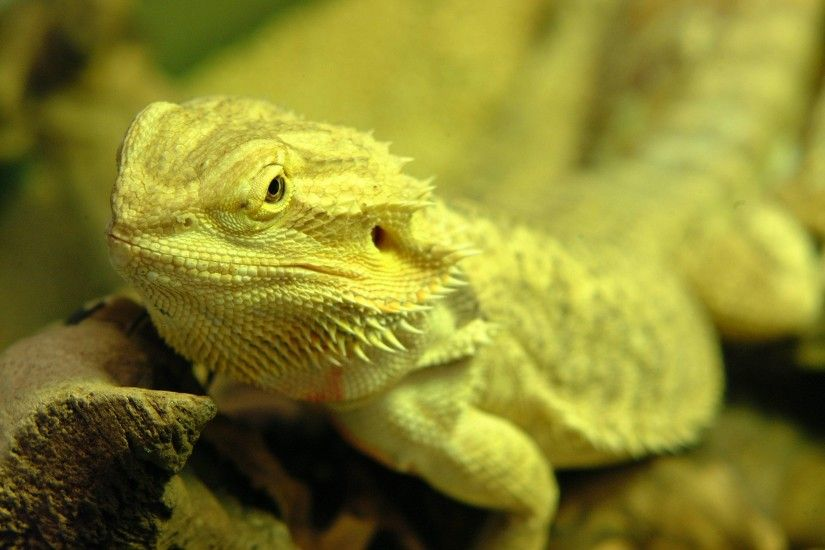 Bearded dragon wallpaper - photo#7