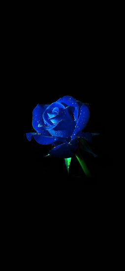 Blue Rose Black Background iPhone X Wallpaper