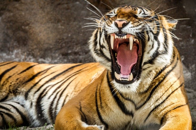 ... d Animated Tiger Wallpapers d wallpaper HD | Wallpapers 4k .