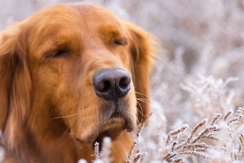 Animals Golden Retriever Snout Dogs Pitbull Dog Wallpapers Download : Dogs  for HD 16:9