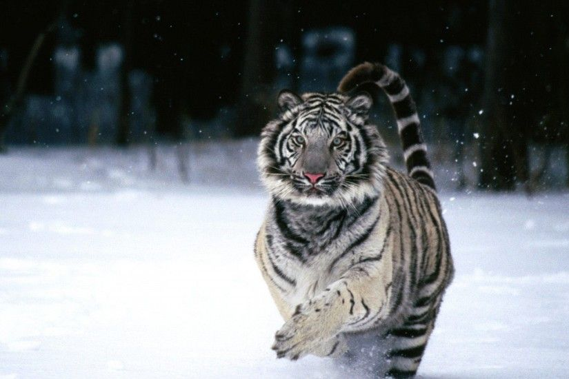 Running White Tiger Wallpaper
