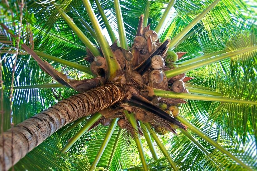 1920x1080 Wallpaper palm tree, trunk, cocoes, fruits, branches, from below