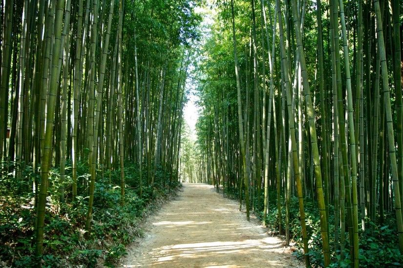 Bamboo forest in Korea wallpaper