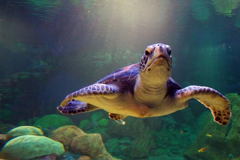 Free Wallpapers - Sea Turtle Diving 2560x1440 wallpaper
