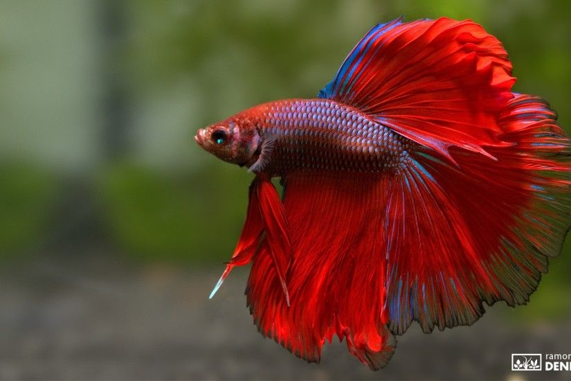 halfmoon betta splendens red male