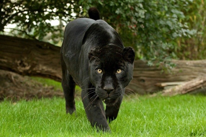 Black jaguar wild cat wallpaper - http://www.gbwallpapers.com/