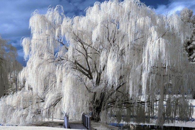 winter weeping willow over a bridge