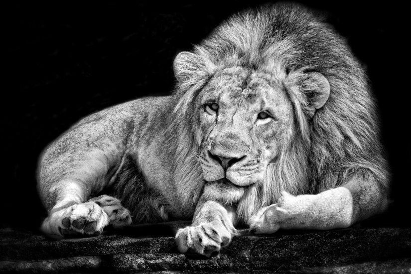 monochrome, Animals, Lion, Black, White Wallpapers HD / Desktop and Mobile  Backgrounds