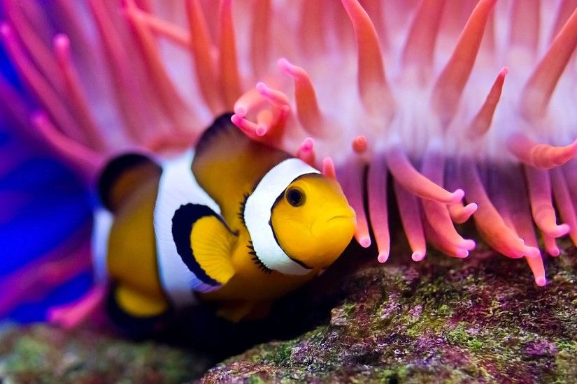 Little Clown Fish HD Wallpaper Wallpaper