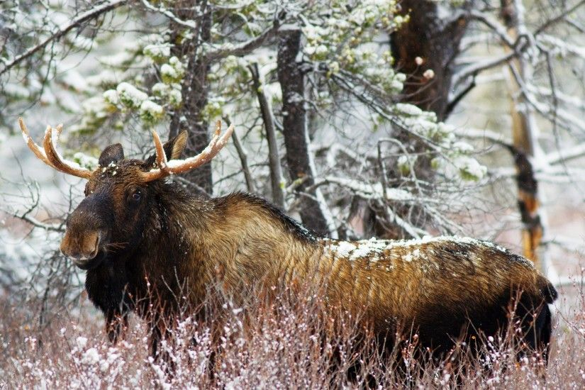 Elk Widescreen Wallpaper 49283