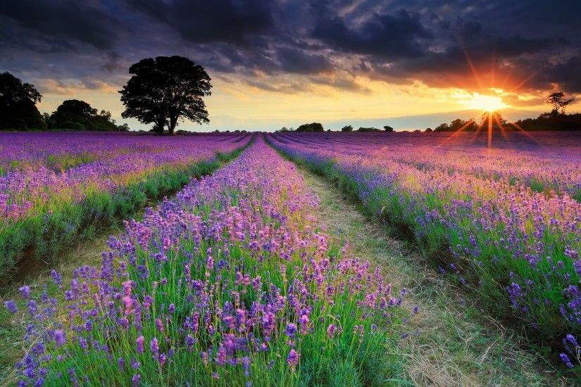 united kingdom summer night sun rays the field lavender