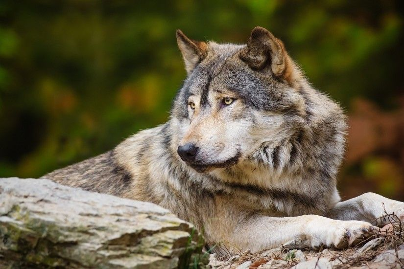 Lonely wolf HD Wallpaper 1920x1080 Lonely ...