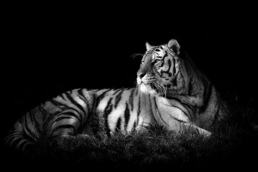 White tiger wallpaper hd - photo#22