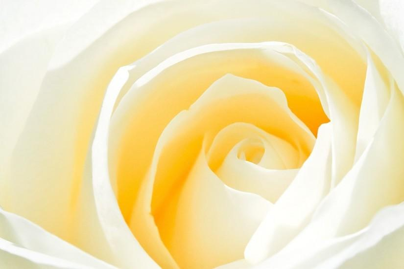 White Rose Flower Background HD Wallpapers