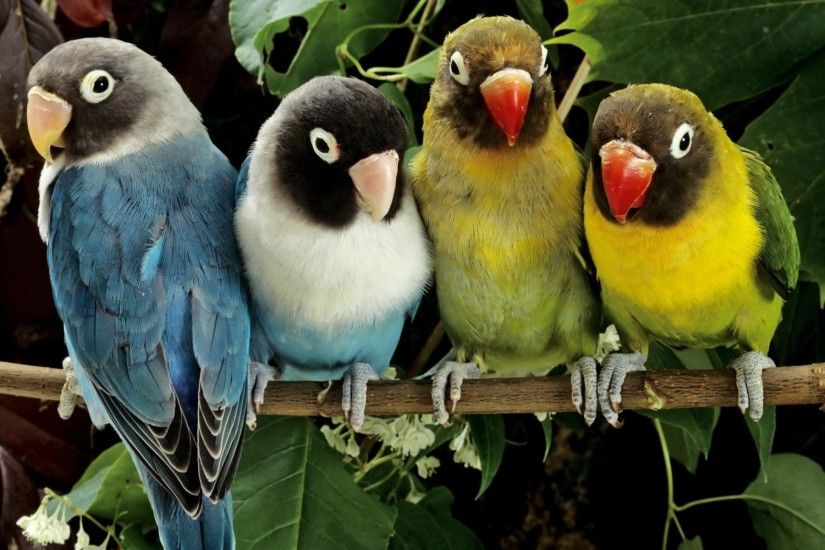 Lovebird Wallpapers - Full HD wallpaper search