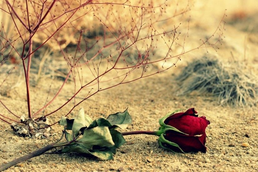 flower flower flower rose red rose leaves leaves branches background  wallpaper widescreen full screen widescreen hd