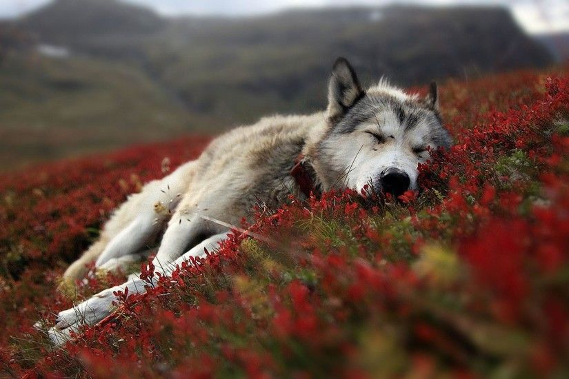 Wolf HD Wallpapers Backgrounds Wallpaper 1920×1200