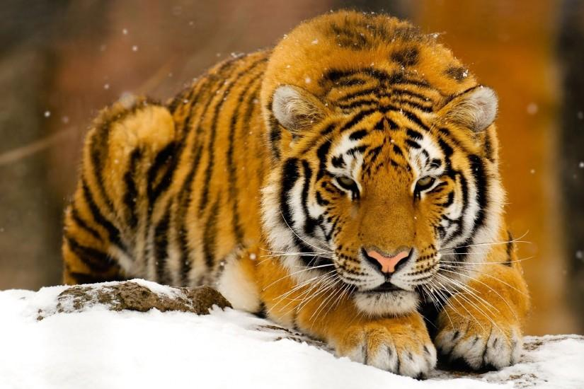 Tiger hd photos | HD Wallpaper
