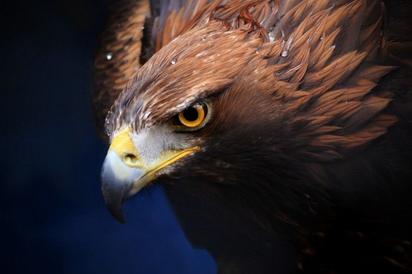 Free Bald Eagle Wallpapers Wallpaper
