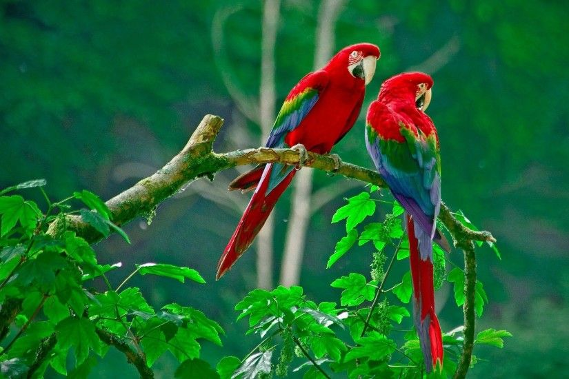 Red Parrot wallpaper high quality