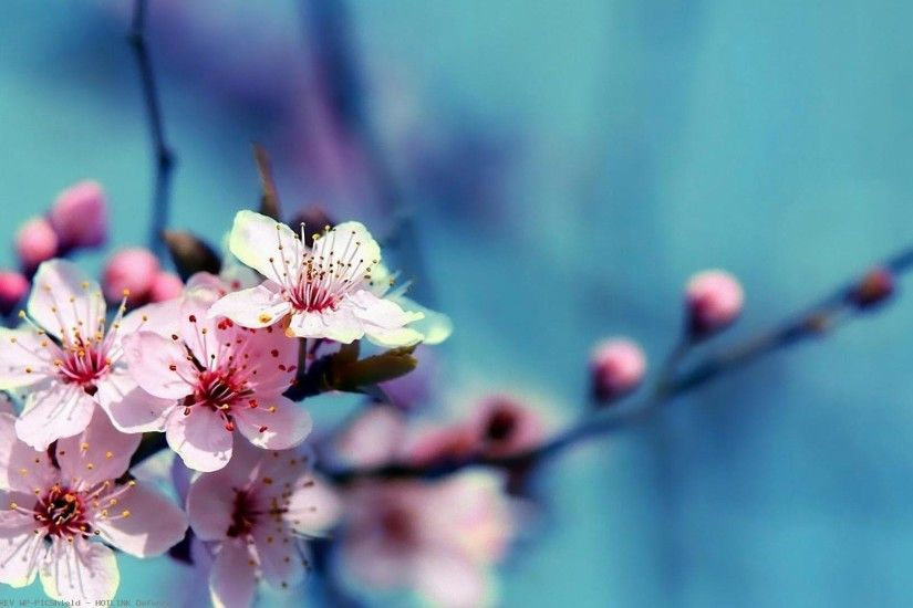 Desktop-cherry-blossoms-hd-1920%C3%971080-wallpaper-
