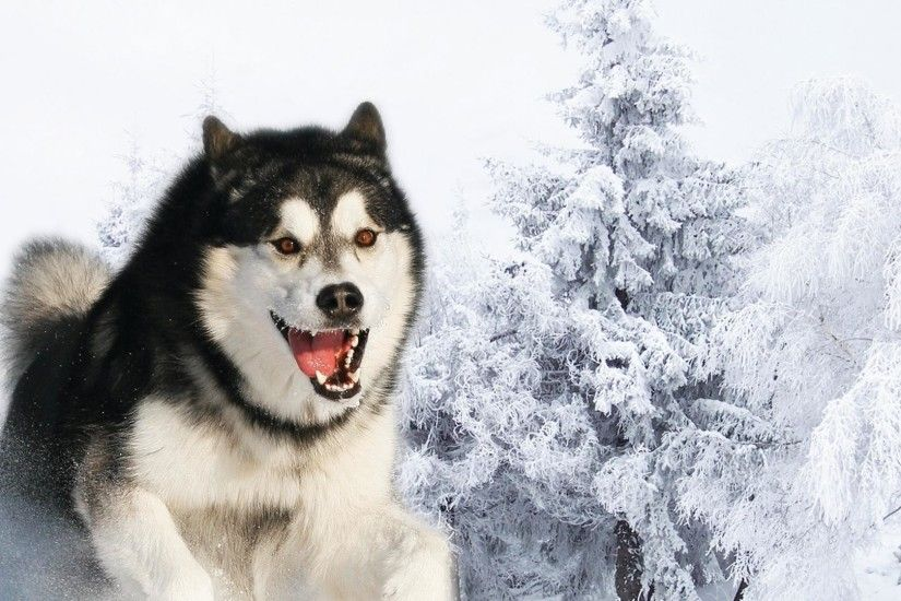 4. siberian-husky-wallpaper4-600x338