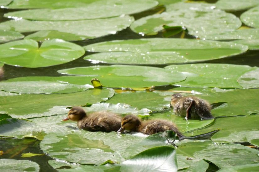 Cute ducklings nibbling lily pads in a pond. Mother duck with the brood  Stock Video Footage - VideoBlocks
