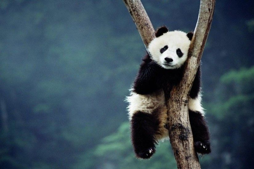 AmazingPict.com | Cute Panda Bears Wallpaper High Resolution