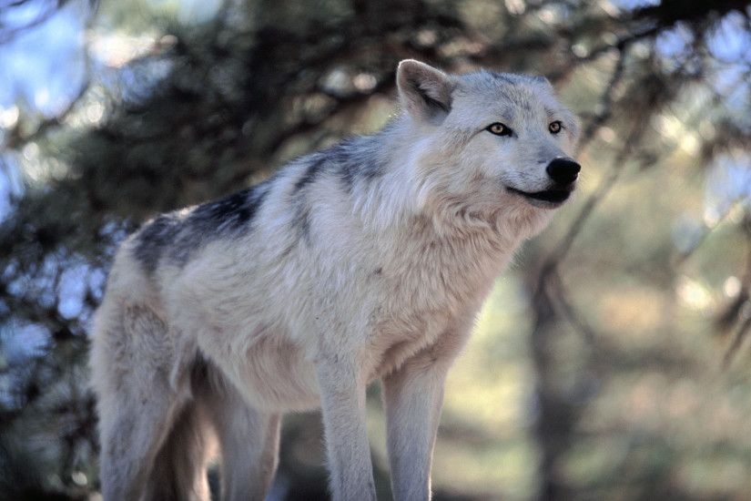 Animals in the Great Lakes | Animal Wolf