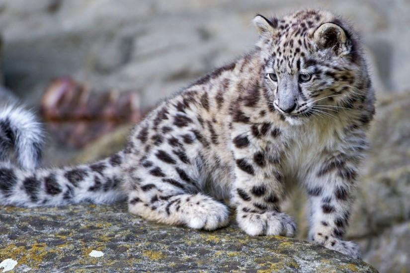 Snow Leopard Cub Wallpapers