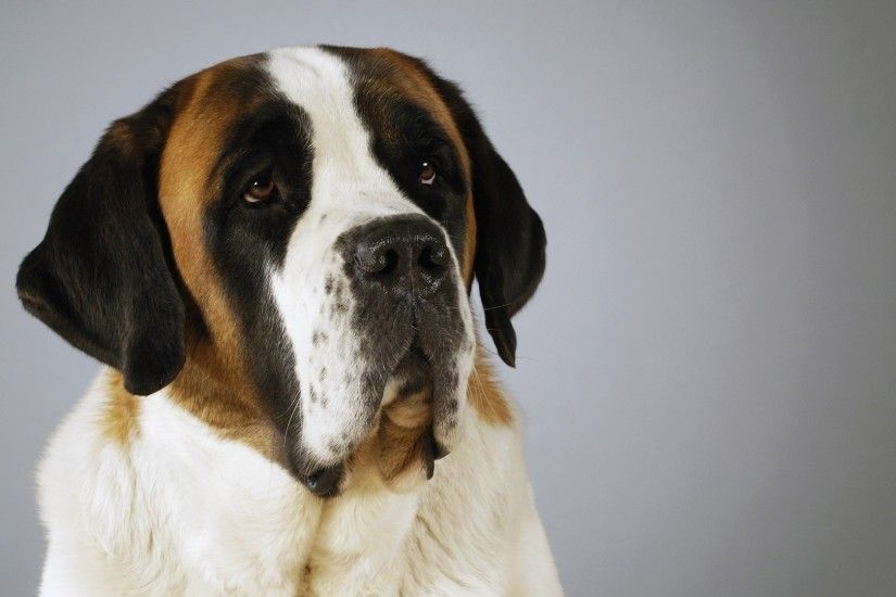 1920x1080 Get the latest st bernard, dog, muzzle news, pictures and videos  and