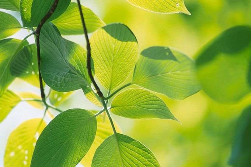Green Leaf Wallpaper HD - WallpaperSafari