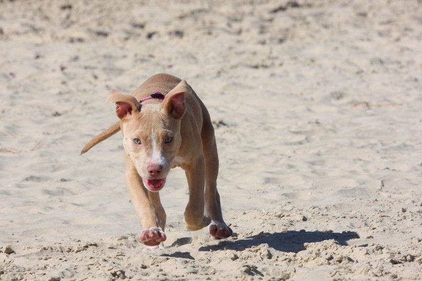 Preview wallpaper pitbull, puppy, dog, sand, run 3840x2160