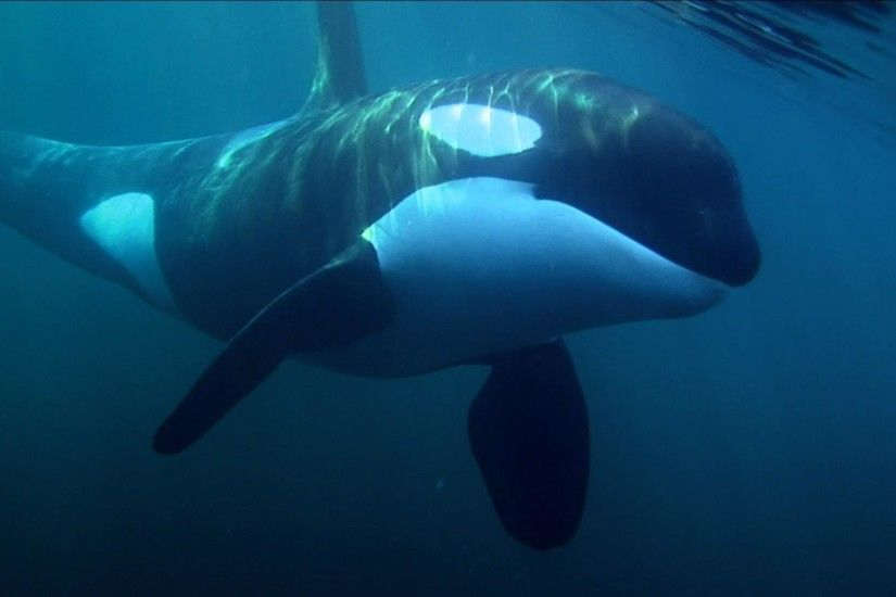Animal Orca Killer Whale Space Wallpaper Orcas Pinterest 1600×900 Pictures  Of Killer Whales Wallpapers