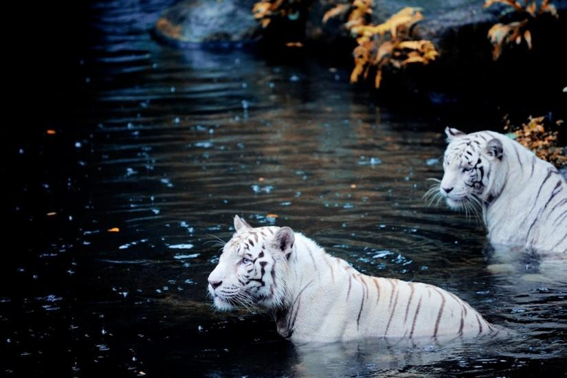 Free Download White Tiger Image.