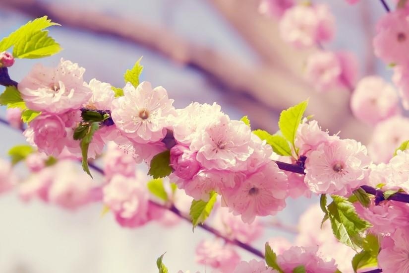 top cherry blossom wallpaper 1920x1080 download