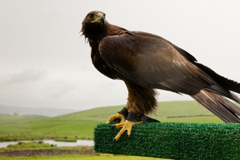 HD Wallpaper | Background ID:513187. 1920x1080 Animal Golden Eagle. 20  Like. Favorite