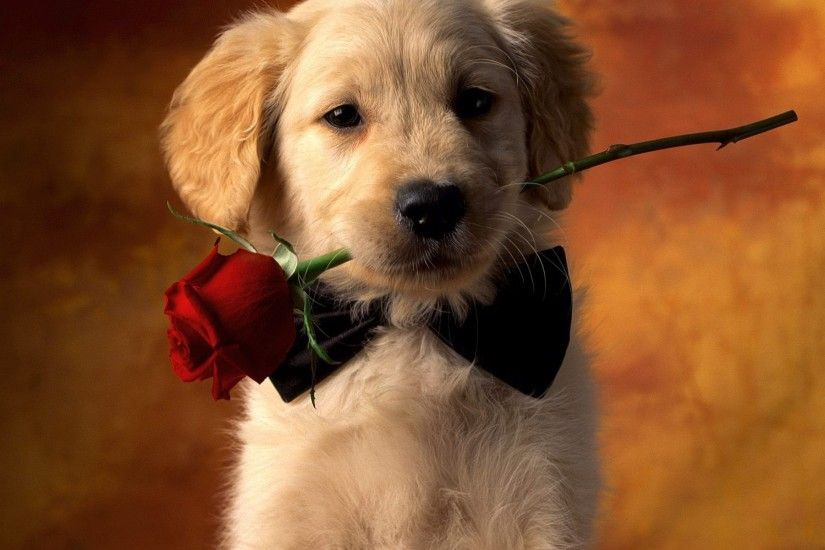 Animal - Dog Red Rose Rose Puppy Pet Animal Cute Wallpaper