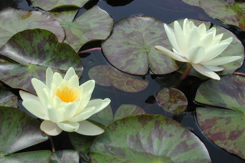 water-lily-lily-pad-water-lily-480641.jpg
