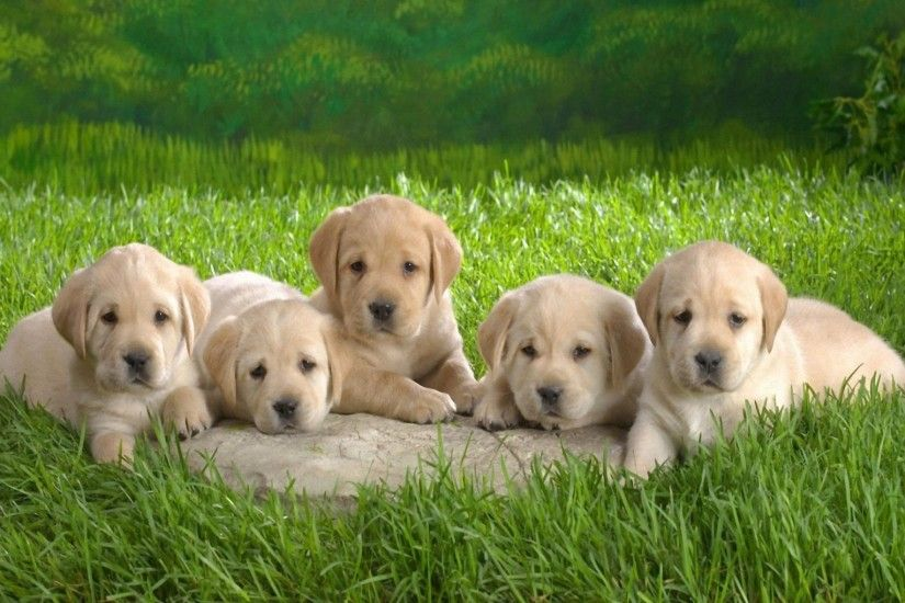 Cute Puppies HD Desktop Wallpaper