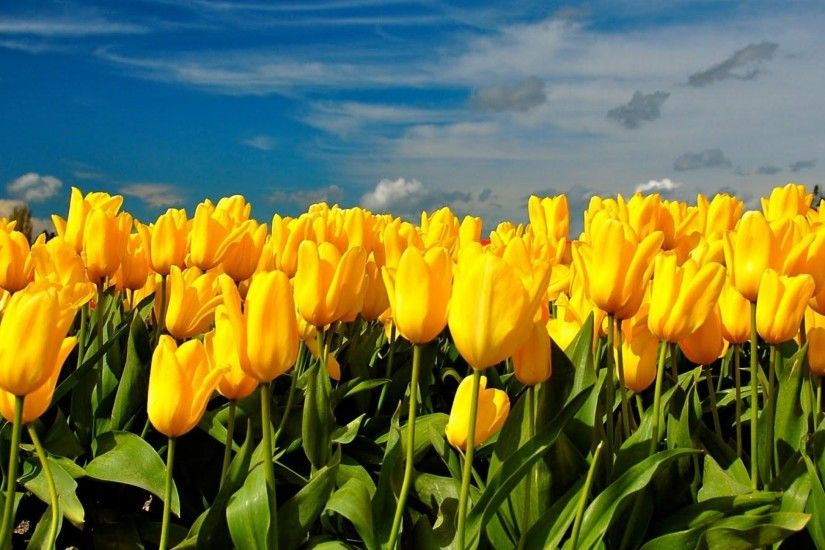 wallpaper.wiki-Tulips-flowers-yellow-sky-clouds-spring-
