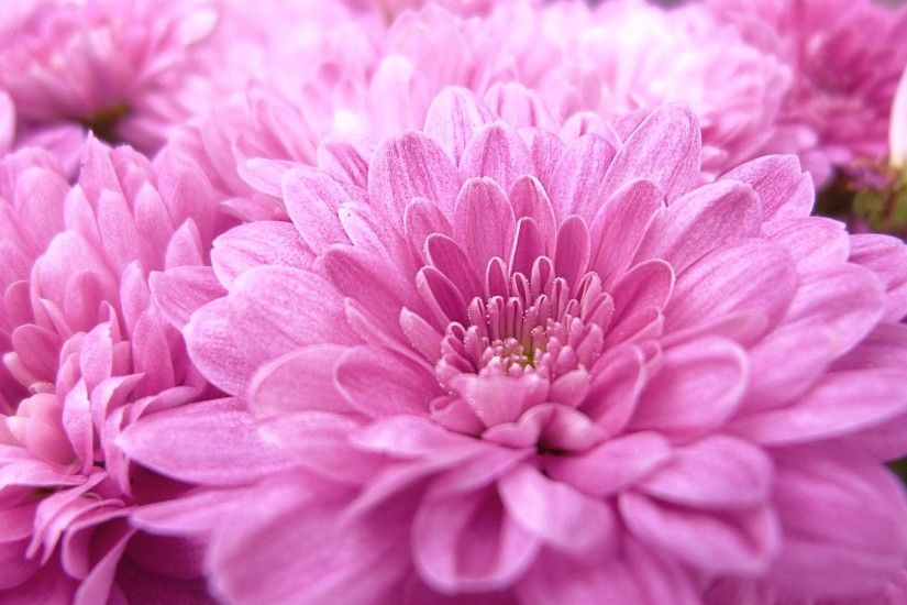 Pink Flower Close up Scenic 1080p HD Wallpaper wallpapers at GetHDPic.com