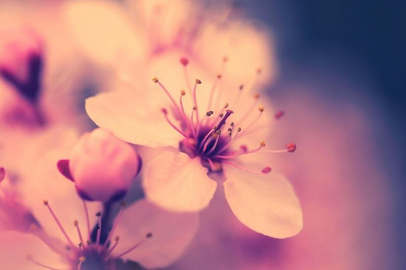 Cherry Blossom Wallpapers HD.