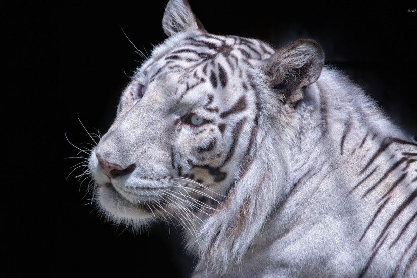 White tiger close-up wallpaper 1920x1200 jpg