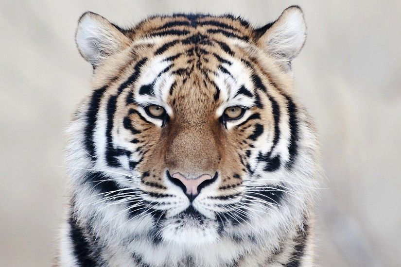 Tiger Face HD Wallpaper 32048