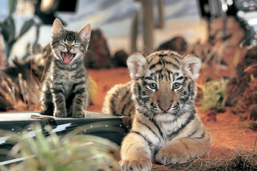 White Tiger Cubs Wallpapers Images Photos Pictures Backgrounds