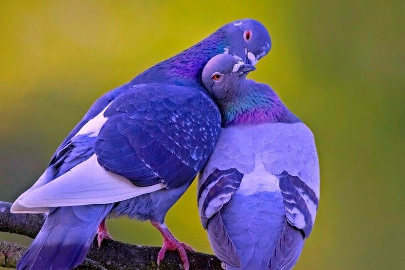 Wallpapers For > Beautiful Love Birds Wallpapers