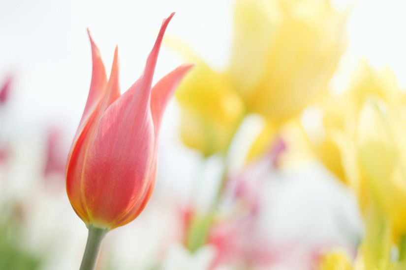 Stunning Tulip Wallpaper 45390