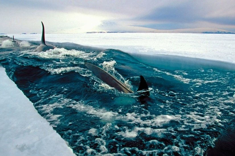 sea, Ice, Antarctica, Fish, Nature, Landscape, Orca Wallpapers HD / Desktop  and Mobile Backgrounds